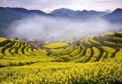 Ngắm thảm hoa cải vàng ở Trung Quốc